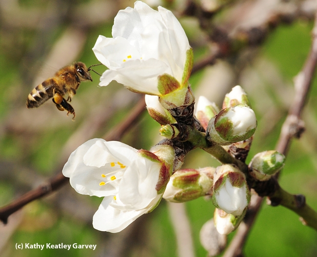 A honey bee heading toward an almond blossom. The honey bee is one of the candidates for Insect News Network's Bug of the Year. (Photo by Kathy Keatley Garvey)