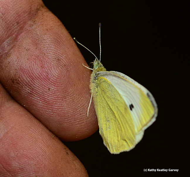 Suds for a bug...this is the cabbage white butterfly that Art Shapiro caught Jan. 14. (Photo by Kathy Keatley Garvey)