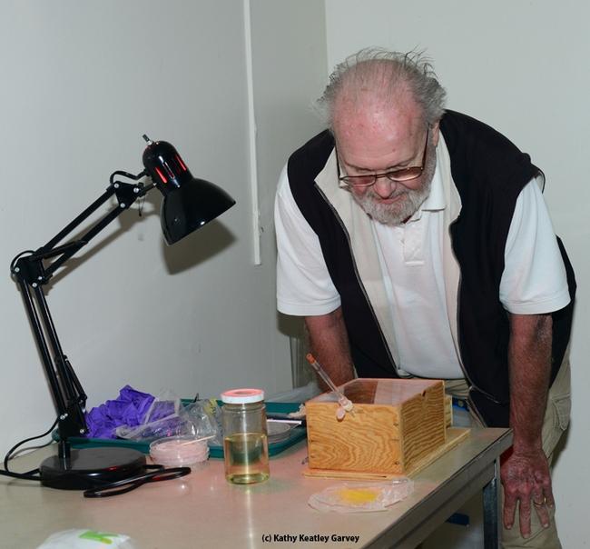 Bumble bee expert and UC Davis emeritus professor Robbin Thorp checks the trio. (Photo by Kathy Keatley Garvey)