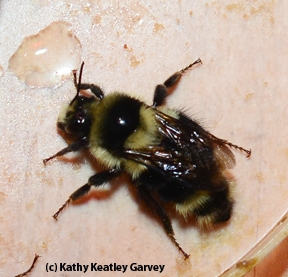 Close-up of one of the bumble bees. (Photo by Kathy Keatley Garvey)
