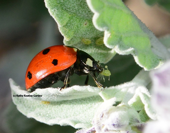 Lady beetle, aka ladybug, devouring an aphid. (Photo by Kathy Keatley Garvey)