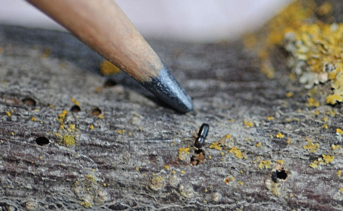 WALNUT TWIG BEETLE is smaller than a grain of rice. (Photo by Kathy Keatley Garvey)
