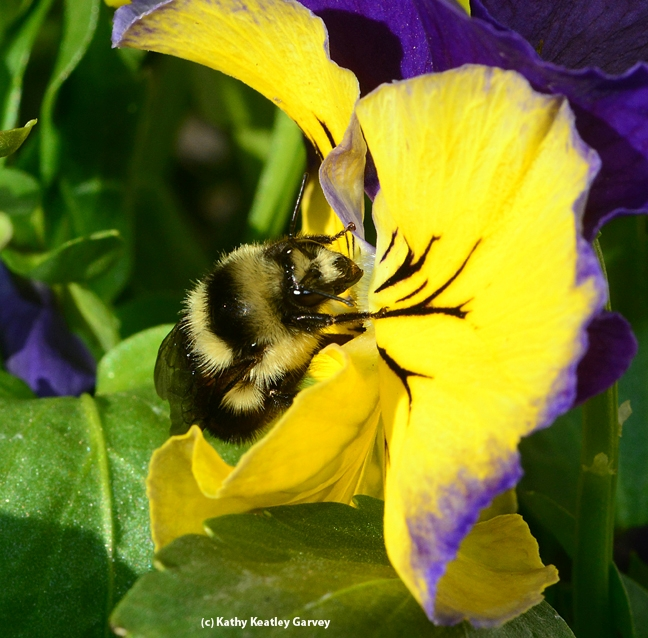 Newly released queen bumble bee foraging on pansies. (Photo by Kathy Keatley Garvey)
