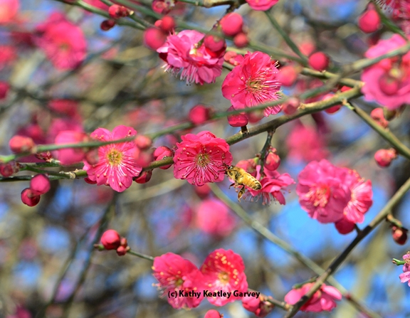 An Italian bee forages in the red Japanese apricot, Prunus mume