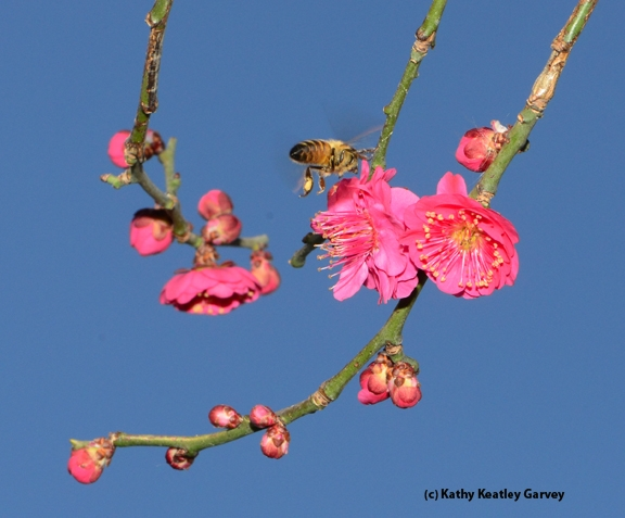 Packing yellow pollen, this bee is colony-bound. (Photo by Kathy Keatley Garvey)