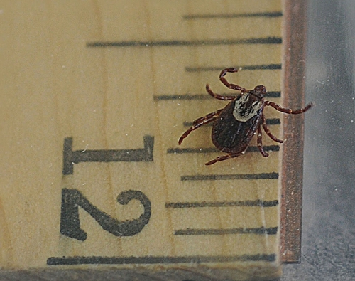 THIS DOG TICK, from the genus Dermacentor, is an adult female. When she's embedded and gorged with blood, she will swell to about half-an-inch long. Here she's crawling on a ruler. (Photo by Kathy Keatley Garvey)
