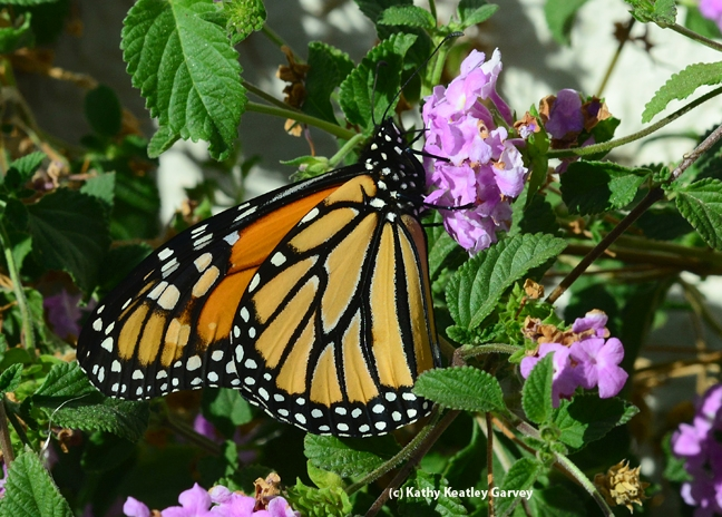 Monarch butterfly nectaring on lantana on Oct. 27, 2013 in Vacaville, Calif. (Photo by Kathy Keatley Garvey)