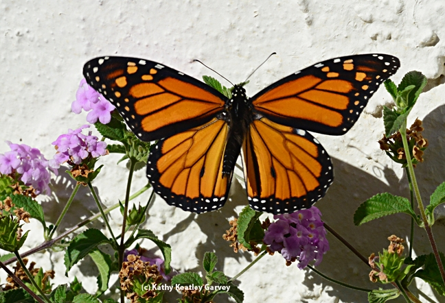 A glorious sight: monarch on the move. (Photo by Kathy Keatley Garvey)