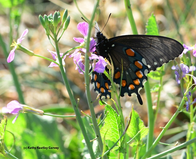 Pipevine Swallowtail, Battis philenor, nectaring on radish on Gates Canyon Road, Vacaville. (Photo by Kathy Keatley Garvey)