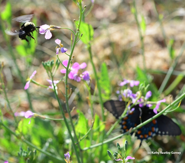 Yellow-faced bumble bee, Bombus vosnesenskii, and Pipevine Swallowtail,  Battis philenor. (Photo by Kathy Keatley Garvey)