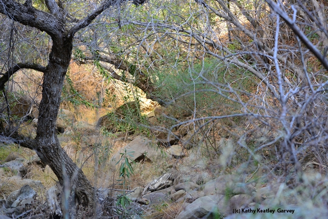Alamo Creek is dry at the lower elevations of Gates Canyon. (Photo by Kathy Keatley Garvey)