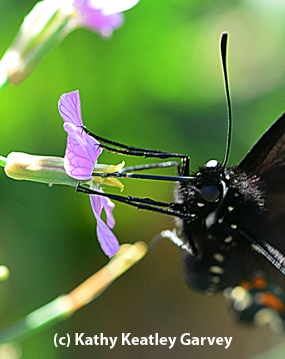 Pipevine Swallowtail nectaring radish. (Photo by Kathy Keatley Garvey)
