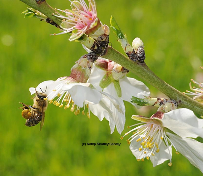 Honey bee packing pollen on an almond tree at UC Davis--on the grounds of the Harry H. Laidlaw Jr. Honey Bee Research Facility-- several years ago. (Photo by Kathy Keatley Garvey)