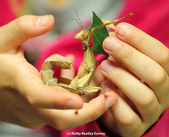 A walking stick being fed a leaf at the Bohart Museum of Entomology. (Photo by Kathy Keatley Garvey)