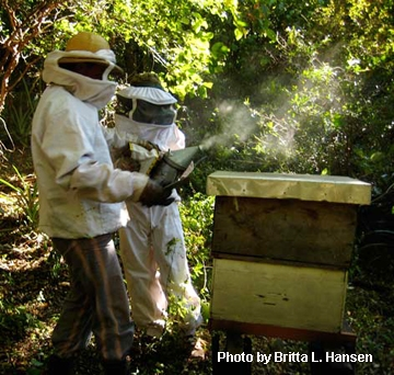 Beekeepers in Bolivia tending their hives. (Photo by Britta L. Hansen)