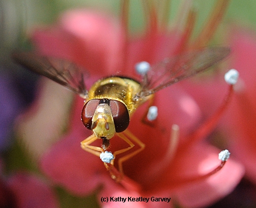 A syrphid fly, aka flower fly or hover fly, sipping nectar from a tower of jewels. (Photo by Kathy Keatley Garvey)