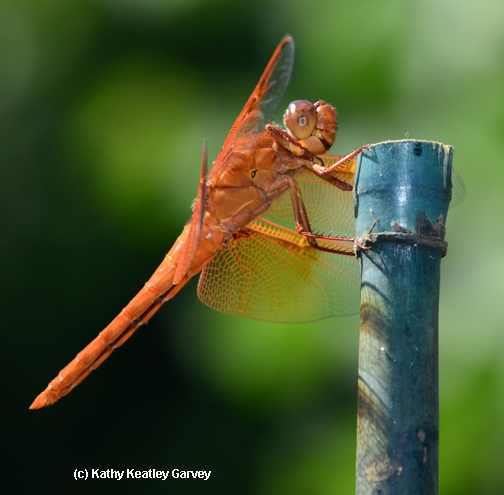 A flameskimmer dragonfly, Libellula saturata, rests on a stake. (Photo by Kathy Keatley Garvey)
