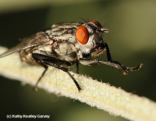 A flesh fly, family Sarcophagidae, grooming itself.(Photo by Kathy Keatley Garvey)
