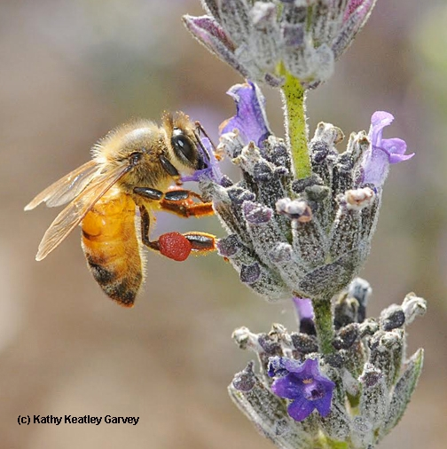 Honey bee with red pollen from a nearby rock puslane. (Photo by Kathy Keatley Garvey)