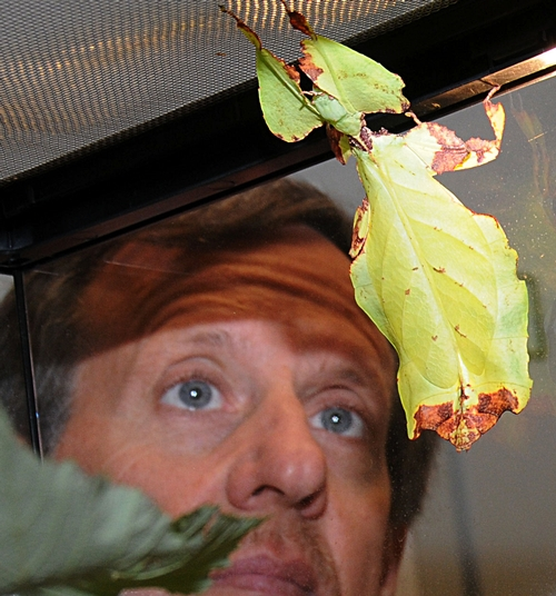 STEVE HEYDON, senior museum scientist at the Bohart Museum of Entomology, checks out a walking leaf, Phyllium giganteum, a native of Malaysia. The camouflaged insect looks like an autumn leaf turning colors. (Photo by Kathy Keatley Garvey)