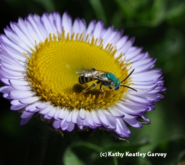 Metallic green sweat bee on a seaside daisy. (Photo by Kathy Keatley Garvey)