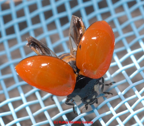 Ladybug drying its wings after falling into a swimming pool. (Photo by Kathy Keatley Garvey)