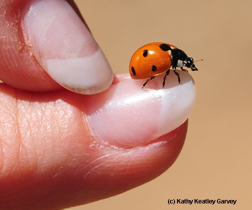 Fly away, little ladybug! (Photo by Kathy Keatley Garvey)