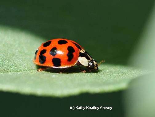 Ladybug resting on a leaf. (Photo by Kathy Keatley Garvey)