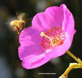 Honey bee heading toward rock purslane, Calandrinia grandiflora. (Photo by Kathy Keatley Garvey)