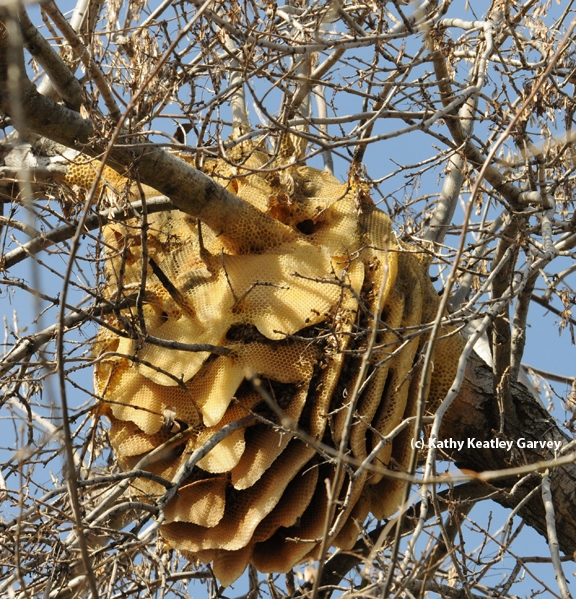This is a feral honey bee colony in a backyard in Vacaville, Solano County. Containing European honey bees, it was a joy to the resident before it collapsed. (Photo by Kathy Keatley Garvey)
