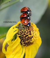 Ladybugs (lady beetles)