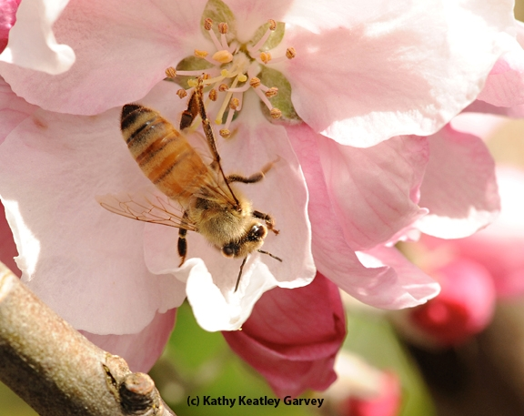 A young honey bee foraging on a cherry blossom. (Photo by Kathy Keatley Garvey)