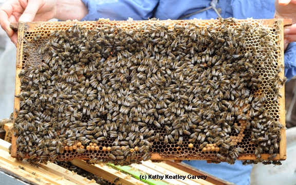 A healthy frame of bees. (Photo by Kathy Keatley Garvey)