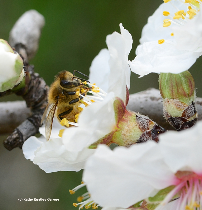 Close-up of honey bee pollinating an almond blossom. (Photo by Kathy Keatley Garvey)