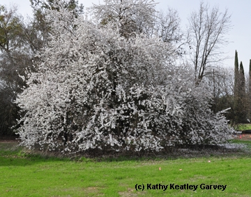 Almond tree in bloom at the Laidlaw facility. (Photo by Kathy Keatley Garvey)