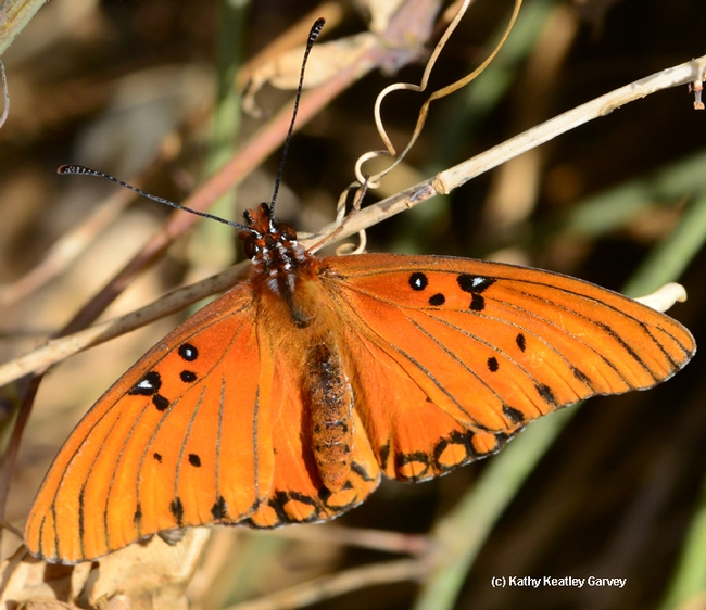 A Gulf Fritillary spotted Feb. 17 near downtown Vacaville, Solano County. (Photo by Kathy Keatley Garvey)