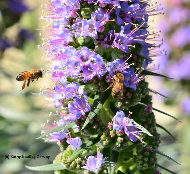 Honey bees foraging on the Pride of Madeira at Bodega Bay. (Photo by Kathy Keatley Garvey)