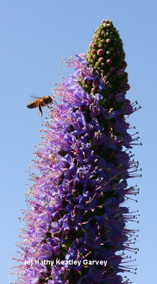 Bee buzzes toward the top of an Echium candicans. (Photo by Kathy Keatley Garvey)
