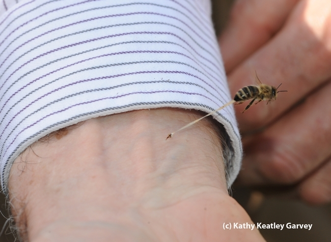 Do honey bees die when they sting