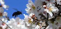 A female Valley carpenter bee buzzes in the almond blossoms. (Photo by Kathy Keatley Garvey) for Bug Squad Blog