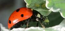 A ladybug grabbing an aphid. (Photo by Kathy Keatley Garvey) for Bug Squad Blog