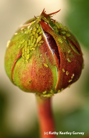 An aphid-covered rosebud awaits a ladybug. (Photo by Kathy Keatley Garvey)