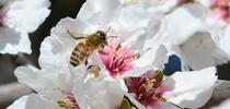 Honey bee foraging on an almond blossom. (Photo by Kathy Keatley Garvey) for Bug Squad Blog