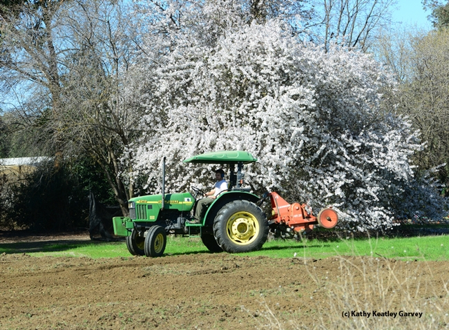 Land around an almond tree on Bee Biology Road is being prepared for UC Davis pollination ecology plots. (Photo by Kathy Keatley Garvey)