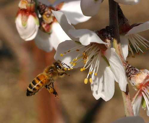 POLLEN-PACKING BEE heads for an almond blossom. This is one of the photos appearing on Cooperative Extension's  newly launched Bee Health Web site. (Photo by Kathy Keatley Garvey)