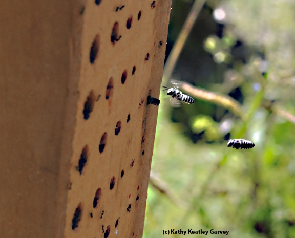 Leafcutting bees heading home to their condo. (Photo by Kathy Keatley Garvey)
