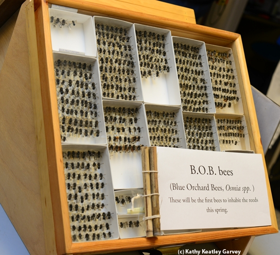Blue orchard bees on display at the Bohart Museum of Entomology. (Photo by Kathy Keatley Garvey)