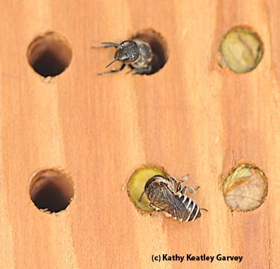 Leafcutter bees at their condo. (Photo by Kathy Keatley Garvey)