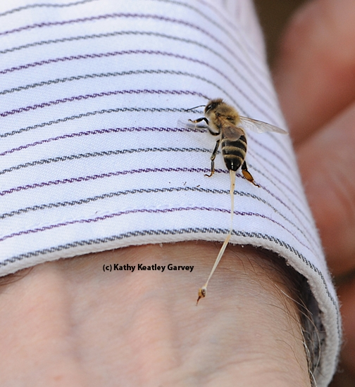 This honey bee, in the process of defending her hive, is stinging Extension apiculturist Eric Mussen of UC Davis. That's her abdominal tissue being pulled out. (Photo by Kathy Keatley Garvey)