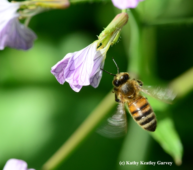 Honey bee in motion. (Photo by Kathy Keatley Garvey)